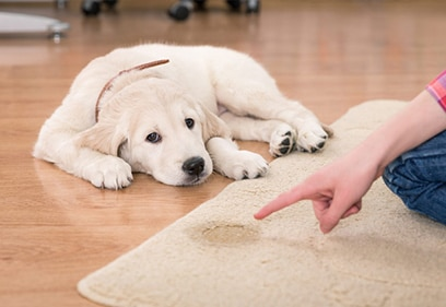 Pet stain removal from carpet and Oriental Rug